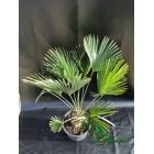trachycarpus wagnerianus 30cm stam