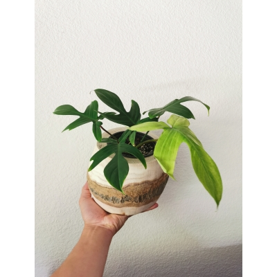 Pre-order Philodendron Florida ghost