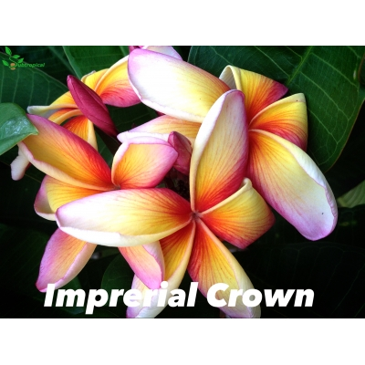 plumeria imperial crown