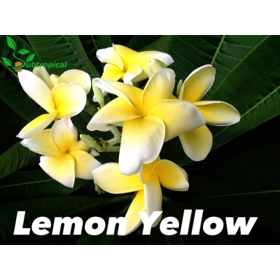 plumeria lemon yellow