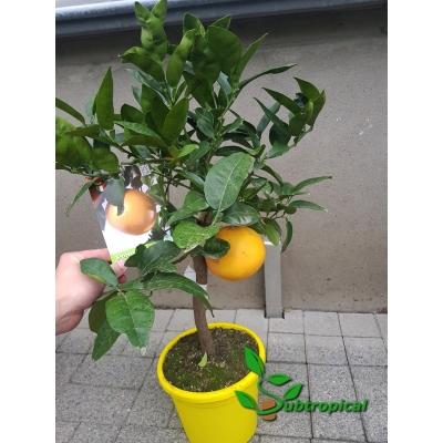 Citrus x paradisi (pompelmoes)