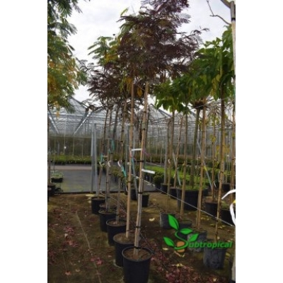 Albizia julibrissin 'Summer Chocolate' 200cm hoogstam
