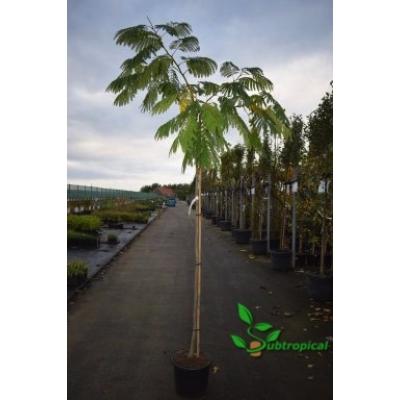 Albizia julibrissin 'Ombrella' 200cm hoogstam