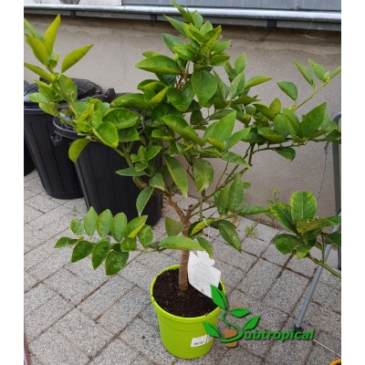 citrus sinensis ( sinaas)