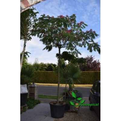Albizia julibrissin 'Ombrella' 250cm hoogstam stamomtrek 20cm