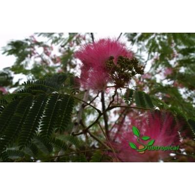 Albizia julibrissin 'Rosea' 50cm