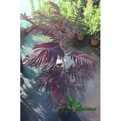 Albizia julibrissin 'Summer Chocolate