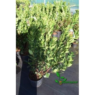 arbutus unedo 80cm