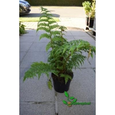 Cyathea australis 25cm