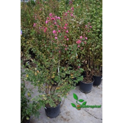 Lagerstroemia indica 'Fuchsia d'E'tè'