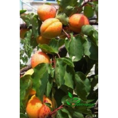 Prunus armeniaca 'Polonais' laagstam