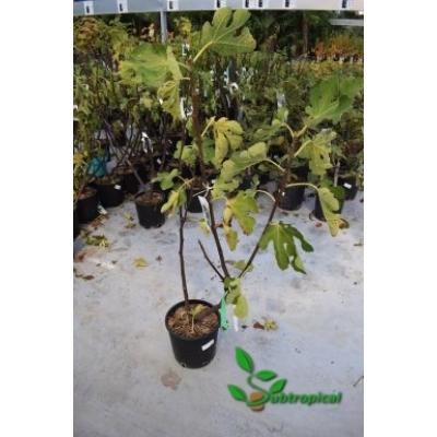Ficus carica 'Napolitana'