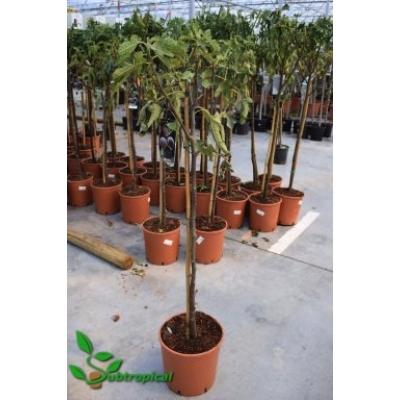 Ficus carica 'Noir de Caromb'