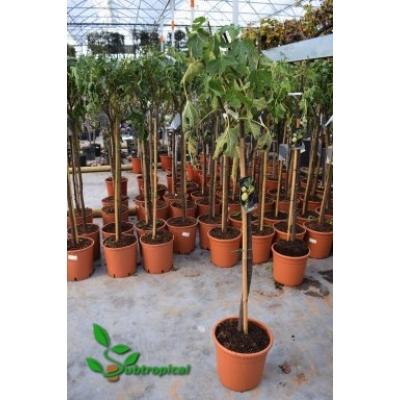 Ficus carica 'Verdino'