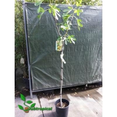 Ficus carica 'Tena'