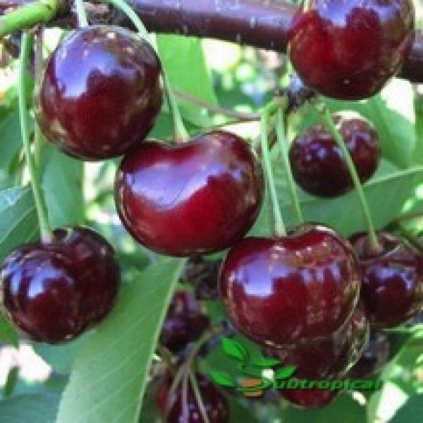 prunus avium (kers)