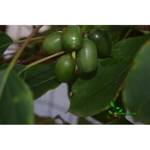 actinidia arguta (kiwibes)