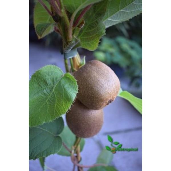 actinidia deliciosa (kiwi)