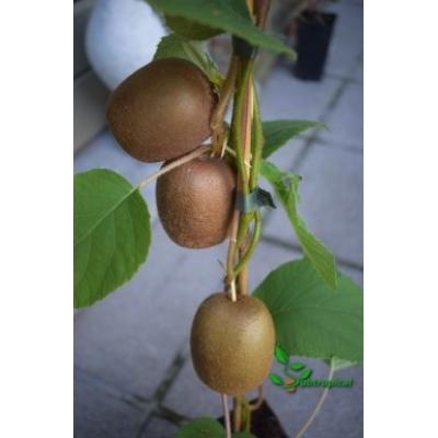 Actinidia deliciosa 'Golden kiwi' vrouwelijk