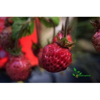 Fragaria x ananassa 'Framberry' (framboos aardbei)