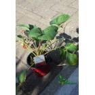 Fragaria x ananassa 'Bubbleberry' (kauwgom aardbei)