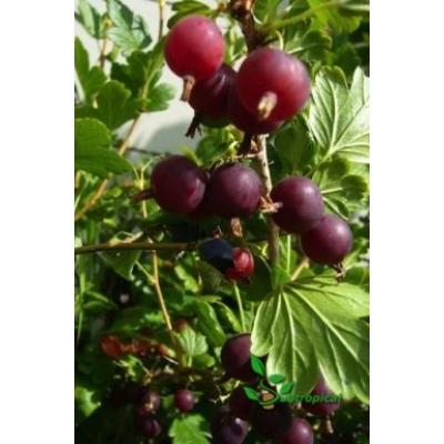 Ribes nidigrolaria 'Josta'
