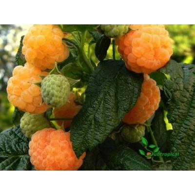 Rubus idaeus 'Autumn Amber'®