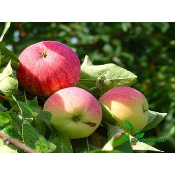 malus domestica (appel)