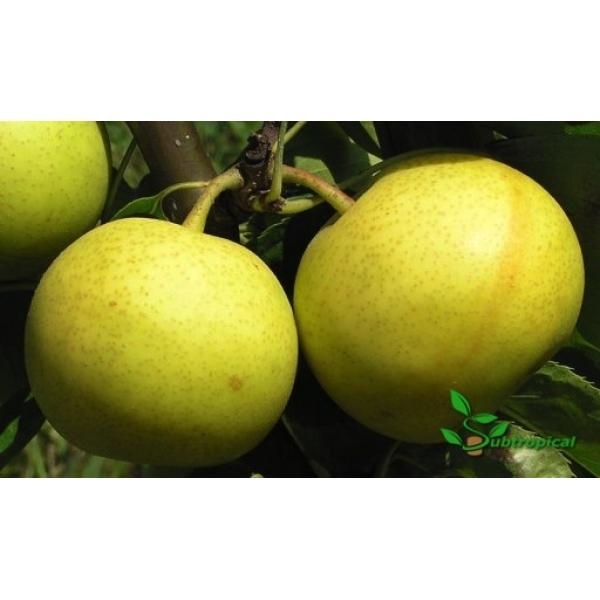 pyrus pyrifolia (nashi peer)