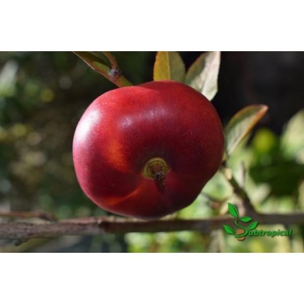 prunus persica nucipersica (nectarine)