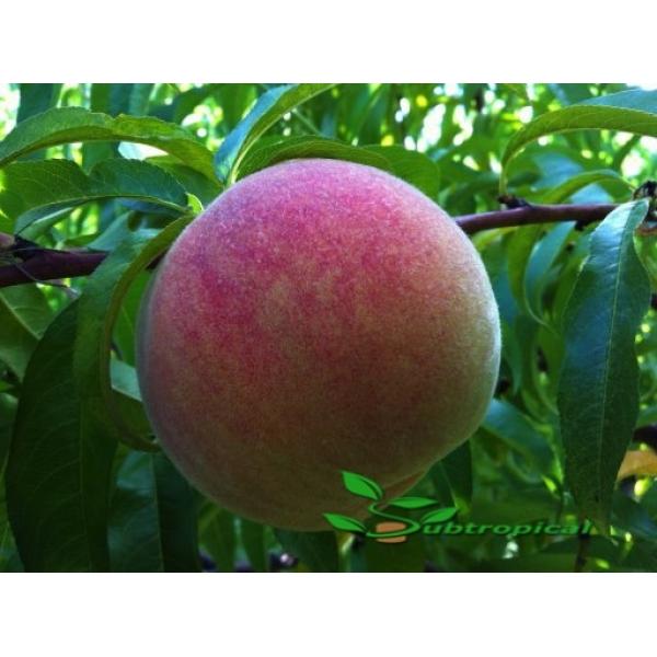 prunus persica (perzik)