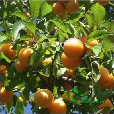 Prunus domestica 'Mirabelle de Nancy' laagstam