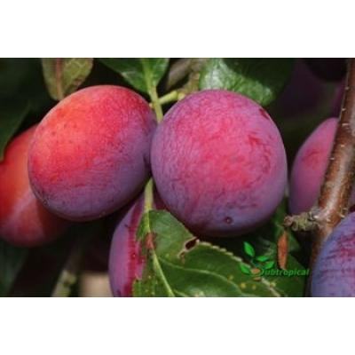 Prunus domestica 'Queen Victoria' laagstam