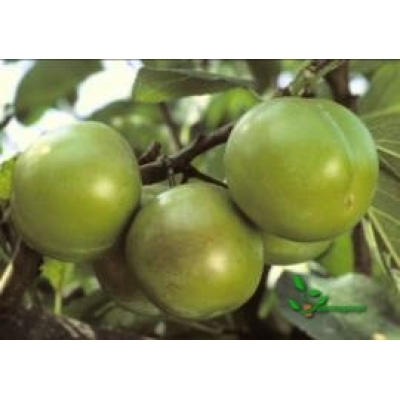 Prunus domestica 'Reine Claude Verte' laagstam