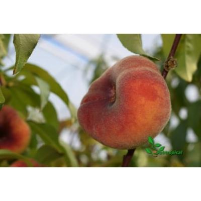 Prunus persica 'Saturn' laagstam
