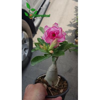 adenium obesum dubbel roze