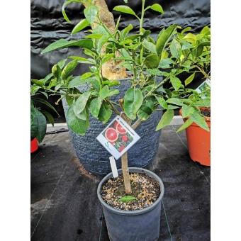 Citrus sinensis rosso