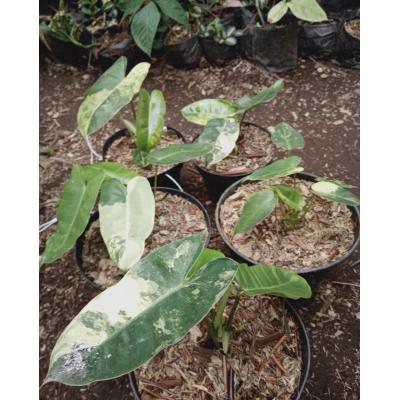 Philodendron burle marx variegata pre-order