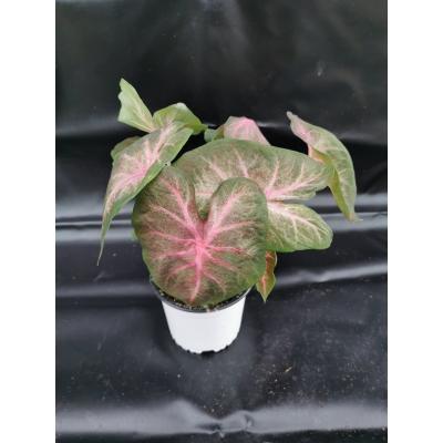 Caladium pink vaines