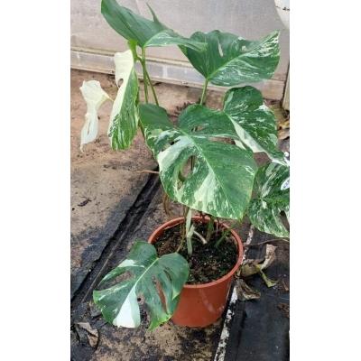 Monstera deliciosa variegata L