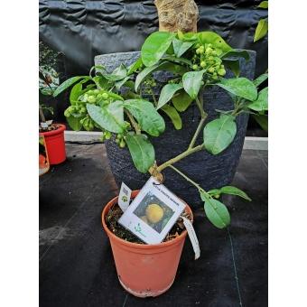 Citrus maxima sarawak