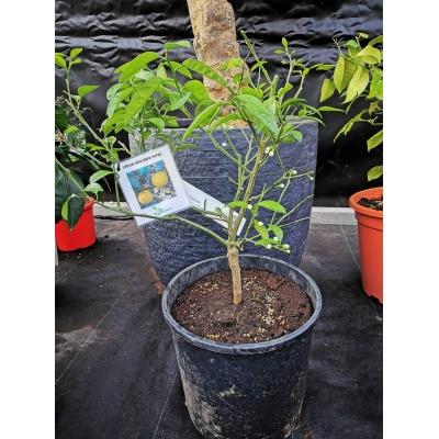 Citrus reticulata keraji