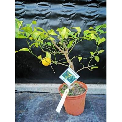 Citrus volkameriana