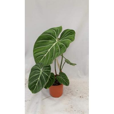 Philodendron gloriosum xl