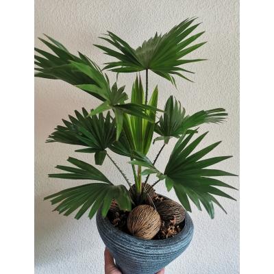 Livistona rotundifolia ( deco pot)