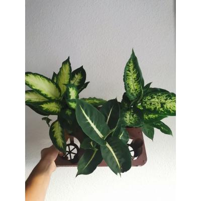 dieffenbachia mix (3 plants)