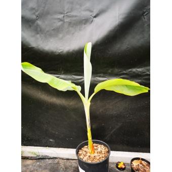 Musa Blue java 60-80cm